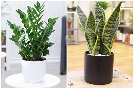 3 loại cây trồng trong nhà có ý nghĩa phong thủy cực tốt, một khi ra hoa lại càng vượng vận