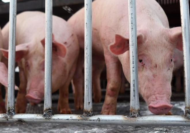 Mua thịt lợn nhập khẩu Thái Lan ở đâu?-1