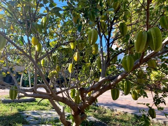 Ca sĩ Bằng Kiều khoe hoa quả thu hoạch trong vườn nhà, nhìn là mê-5