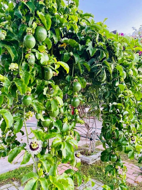 Ca sĩ Bằng Kiều khoe hoa quả thu hoạch trong vườn nhà, nhìn là mê-8