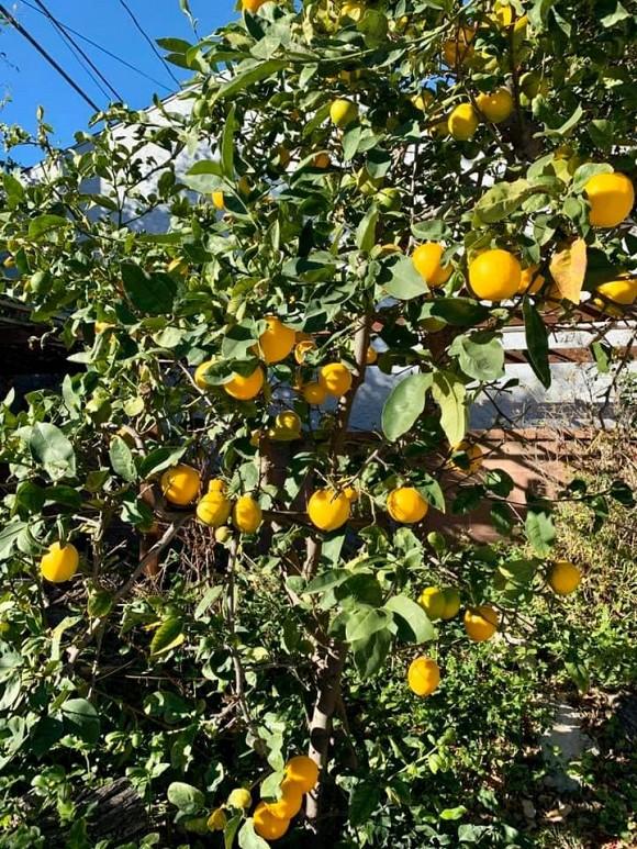 Ca sĩ Bằng Kiều khoe hoa quả thu hoạch trong vườn nhà, nhìn là mê-10
