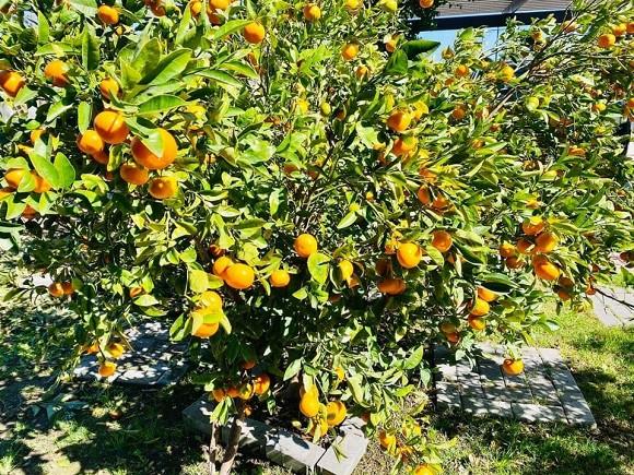 Ca sĩ Bằng Kiều khoe hoa quả thu hoạch trong vườn nhà, nhìn là mê-11