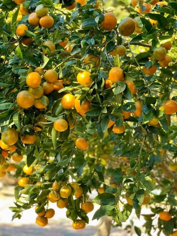 Ca sĩ Bằng Kiều khoe hoa quả thu hoạch trong vườn nhà, nhìn là mê-12