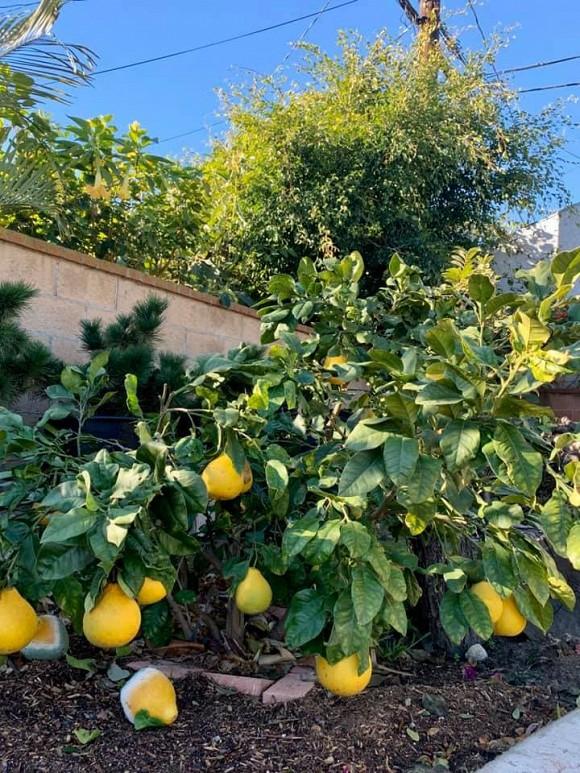 Ca sĩ Bằng Kiều khoe hoa quả thu hoạch trong vườn nhà, nhìn là mê-14
