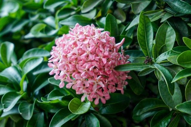 Mãn nhãn với cây hoa trang đột biến sắc hồng giá gần nửa tỷ-2