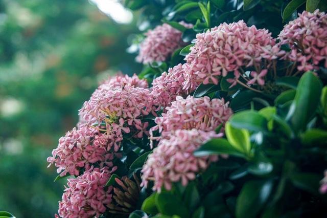 Mãn nhãn với cây hoa trang đột biến sắc hồng giá gần nửa tỷ-4