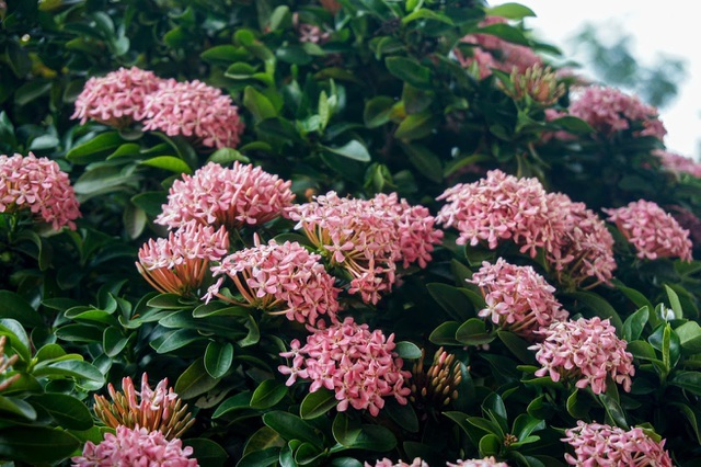Mãn nhãn với cây hoa trang đột biến sắc hồng giá gần nửa tỷ-5