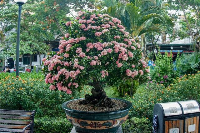 Mãn nhãn với cây hoa trang đột biến sắc hồng giá gần nửa tỷ-1