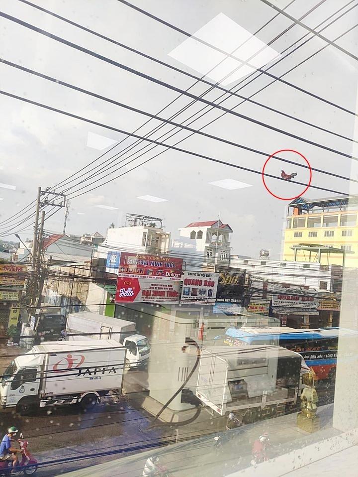 Bức ảnh chú gà trống ngồi chễm chệ trên đường dây điện cao chót vót khiến dân mạng tranh cãi nhiều nhất hôm nay liệu nó bay lên bằng cách nào?-1