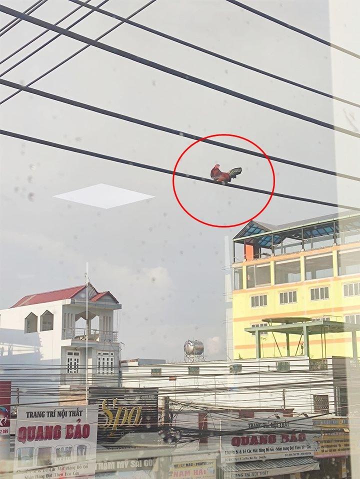 Bức ảnh chú gà trống ngồi chễm chệ trên đường dây điện cao chót vót khiến dân mạng tranh cãi nhiều nhất hôm nay liệu nó bay lên bằng cách nào?-2