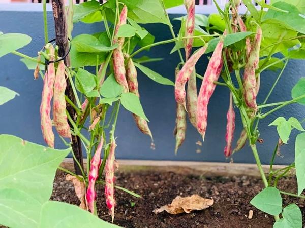 Ăn không xuể với khu vườn rau sạch trên mây của mẹ đảm Sơn La-8