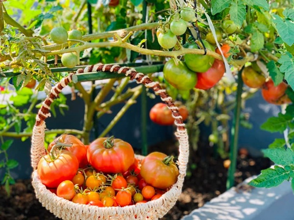 Ăn không xuể với khu vườn rau sạch trên mây của mẹ đảm Sơn La-14