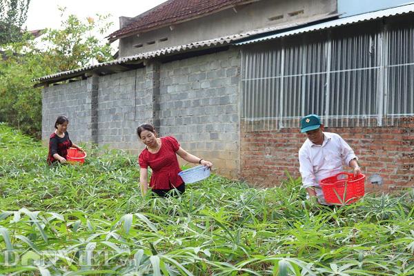 Rau nhà nghèo một thời ăn chống đói, nay là đặc sản, thu cả triệu đồng mỗi ngày-1
