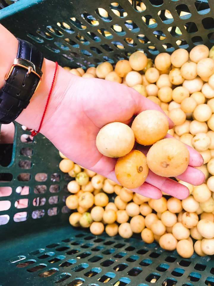 Sấu chín cuối mùa giá 40 ngàn/kg vẫn đắt khách, tiểu thương cố thu gom cũng không có bán-4