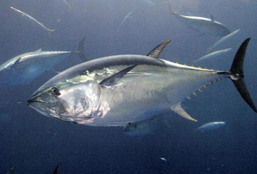 Sự thật tàn khốc đằng sau miếng sushi cá ngừ đắt giá-2