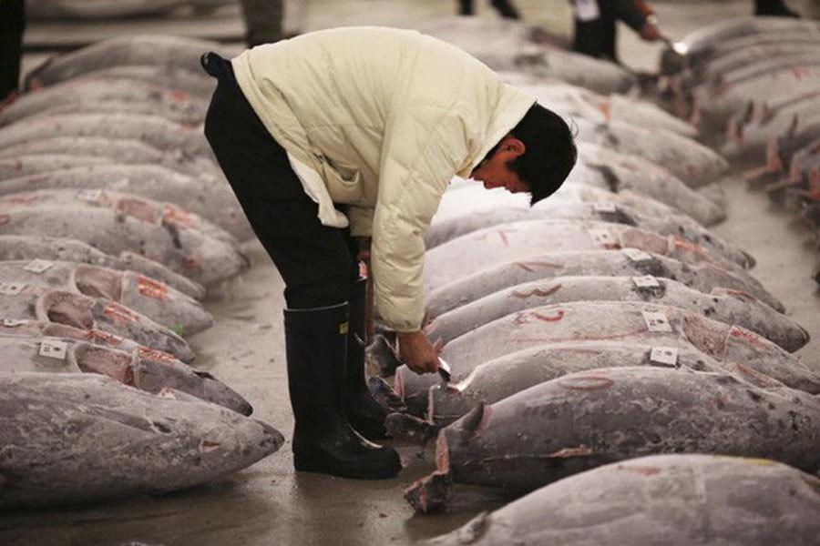 Sự thật tàn khốc đằng sau miếng sushi cá ngừ đắt giá-3