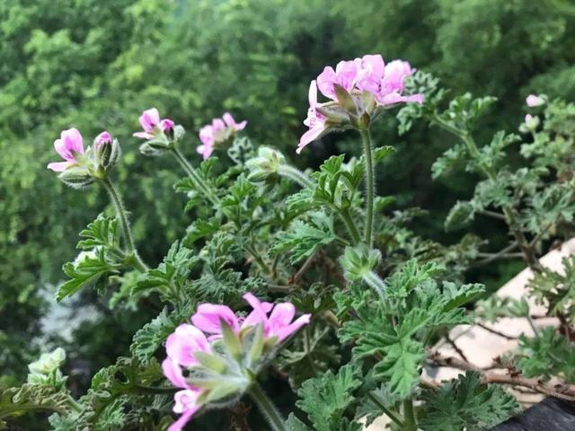 Đặt 3 chậu hoa trong nhà không những đẹp - thơm mà còn xua đuổi muỗi hiệu quả hơn cả thuốc xịt-1