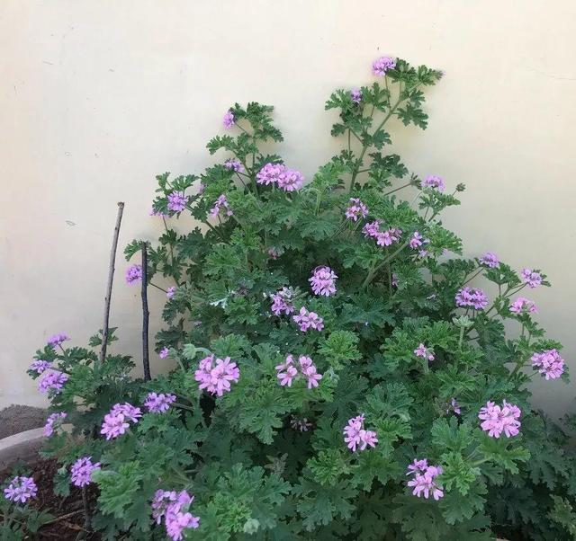 Đặt 3 chậu hoa trong nhà không những đẹp - thơm mà còn xua đuổi muỗi hiệu quả hơn cả thuốc xịt-2