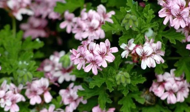 Đặt 3 chậu hoa trong nhà không những đẹp - thơm mà còn xua đuổi muỗi hiệu quả hơn cả thuốc xịt-3
