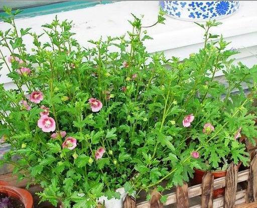 Đặt 3 chậu hoa trong nhà không những đẹp - thơm mà còn xua đuổi muỗi hiệu quả hơn cả thuốc xịt-4