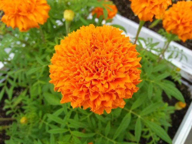 Đặt 3 chậu hoa trong nhà không những đẹp - thơm mà còn xua đuổi muỗi hiệu quả hơn cả thuốc xịt-6