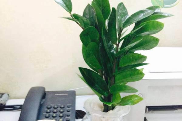 Loại cây phong thuỷ chỉ cần có nước là sống, dân văn phòng chưa có phải mua ngay-4