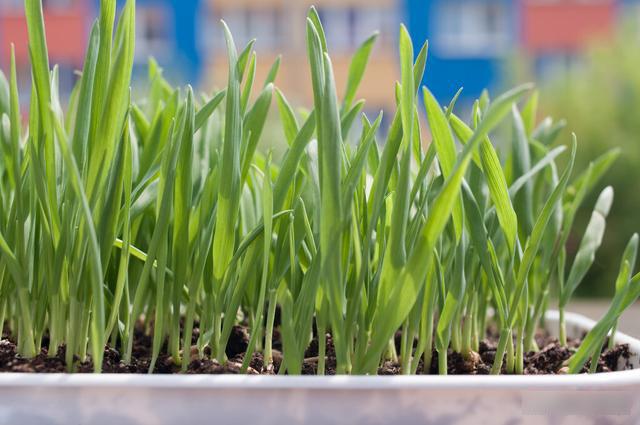 Mẹo trồng rau sạch trên ban công cực đơn giản, lại không gây mùi khó chịu-3