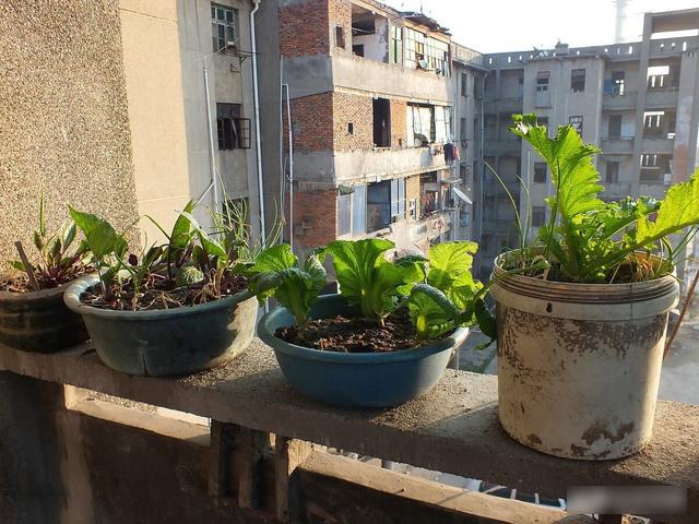Mẹo trồng rau sạch trên ban công cực đơn giản, lại không gây mùi khó chịu-2