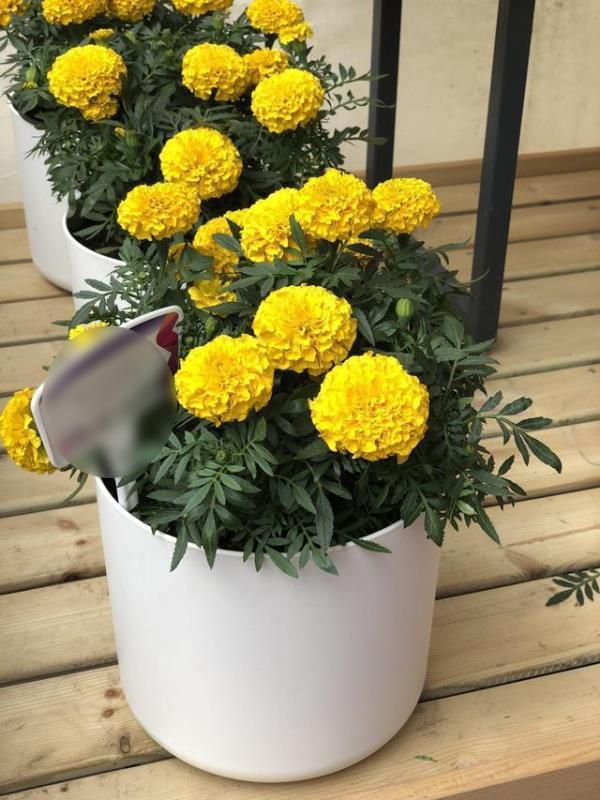 Đặt 3 chậu hoa trong nhà không những đẹp - thơm mà còn xua đuổi muỗi hiệu quả hơn cả thuốc xịt-5