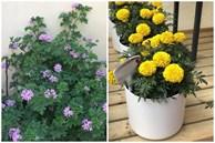 Đặt 3 chậu hoa trong nhà không những đẹp - thơm mà còn xua đuổi muỗi hiệu quả hơn cả thuốc xịt