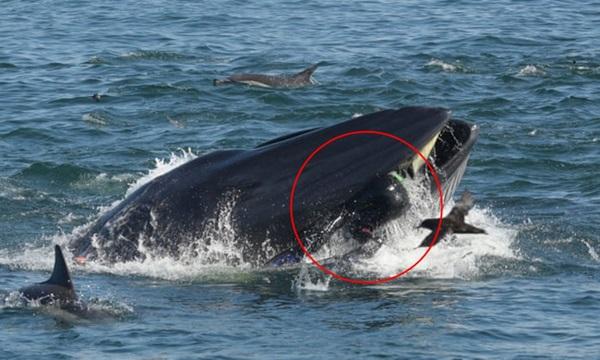 Khoảnh khắc ấn tượng khi cá voi ngoạm người đàn ông trong miệng chỉ thấy được đầu và một phần cơ thể, kết cục của câu chuyện khó ngờ hơn-2