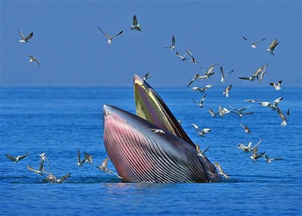Khoảnh khắc ấn tượng khi cá voi ngoạm người đàn ông trong miệng chỉ thấy được đầu và một phần cơ thể, kết cục của câu chuyện khó ngờ hơn-3
