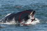 Khoảnh khắc ấn tượng khi cá voi ngoạm người đàn ông trong miệng chỉ thấy được đầu và một phần cơ thể, kết cục của câu chuyện khó ngờ hơn