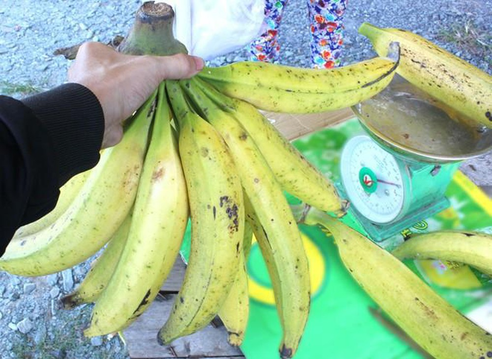 """Ngỡ ngàng trước giống chuối siêu to khổng lồ"""" đặc biệt tại Việt Nam, mỗi quả nặng gần 1kg giá chỉ 9.000 đồng/quả-3"""