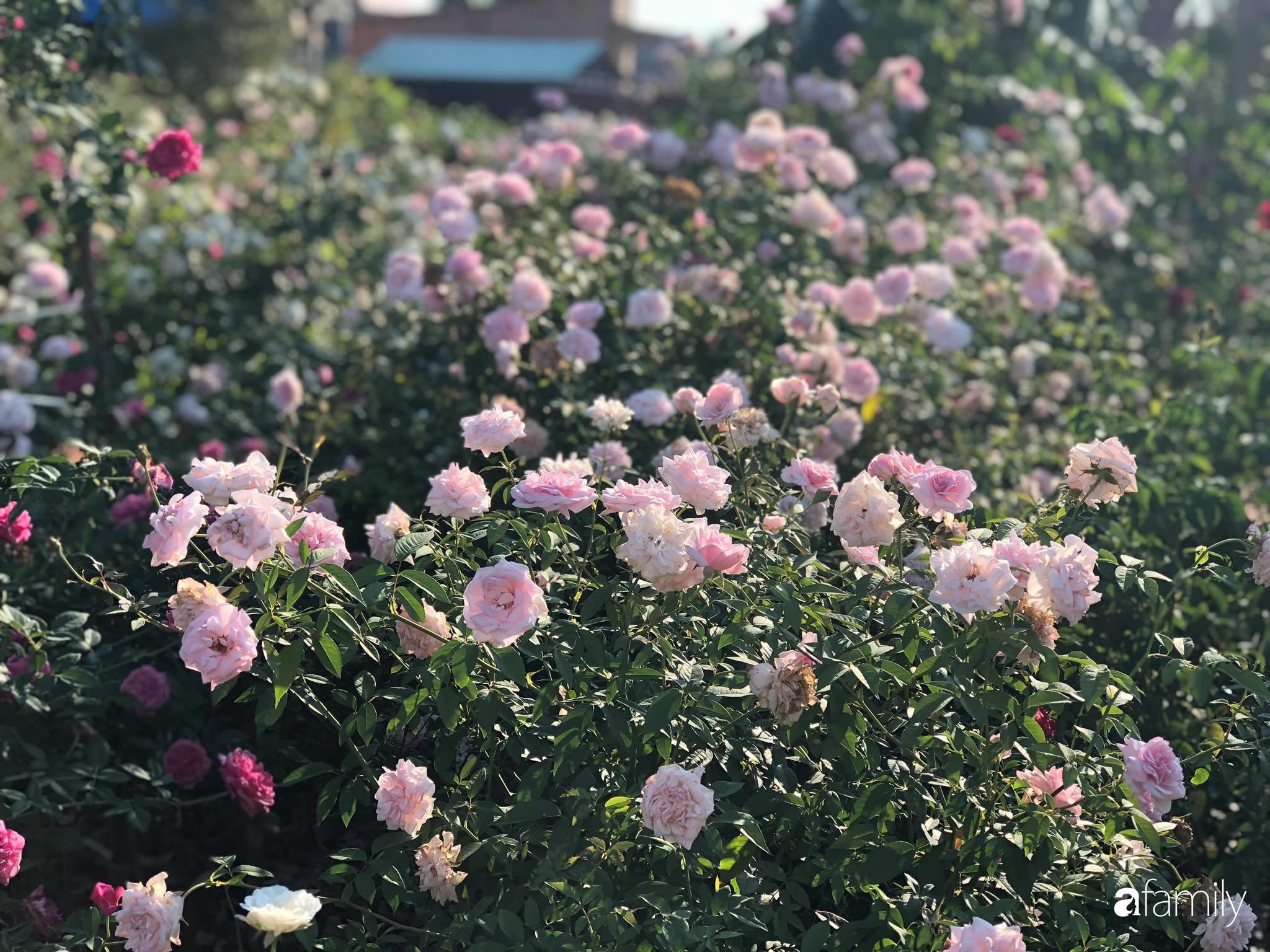 Khu vườn hoa hồng đẹp như cổ tích mà người chồng ngày đêm chăm sóc để tặng vợ con ở Vũng Tàu-31