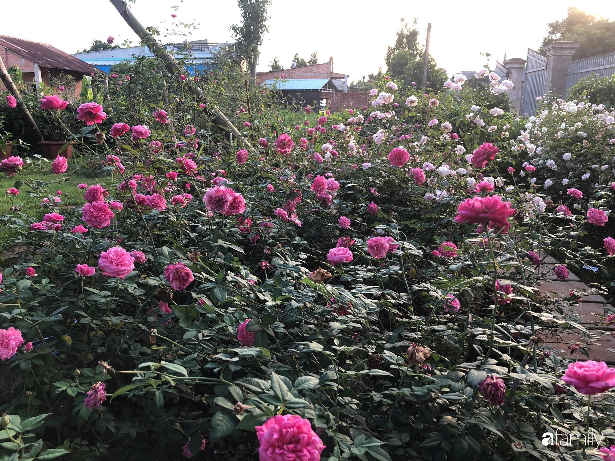Khu vườn hoa hồng đẹp như cổ tích mà người chồng ngày đêm chăm sóc để tặng vợ con ở Vũng Tàu-12