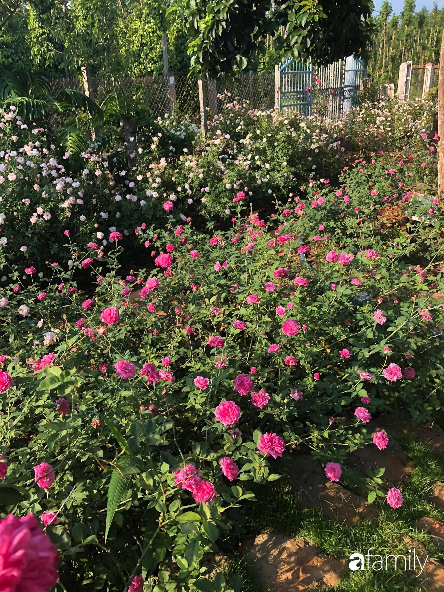 Khu vườn hoa hồng đẹp như cổ tích mà người chồng ngày đêm chăm sóc để tặng vợ con ở Vũng Tàu-6