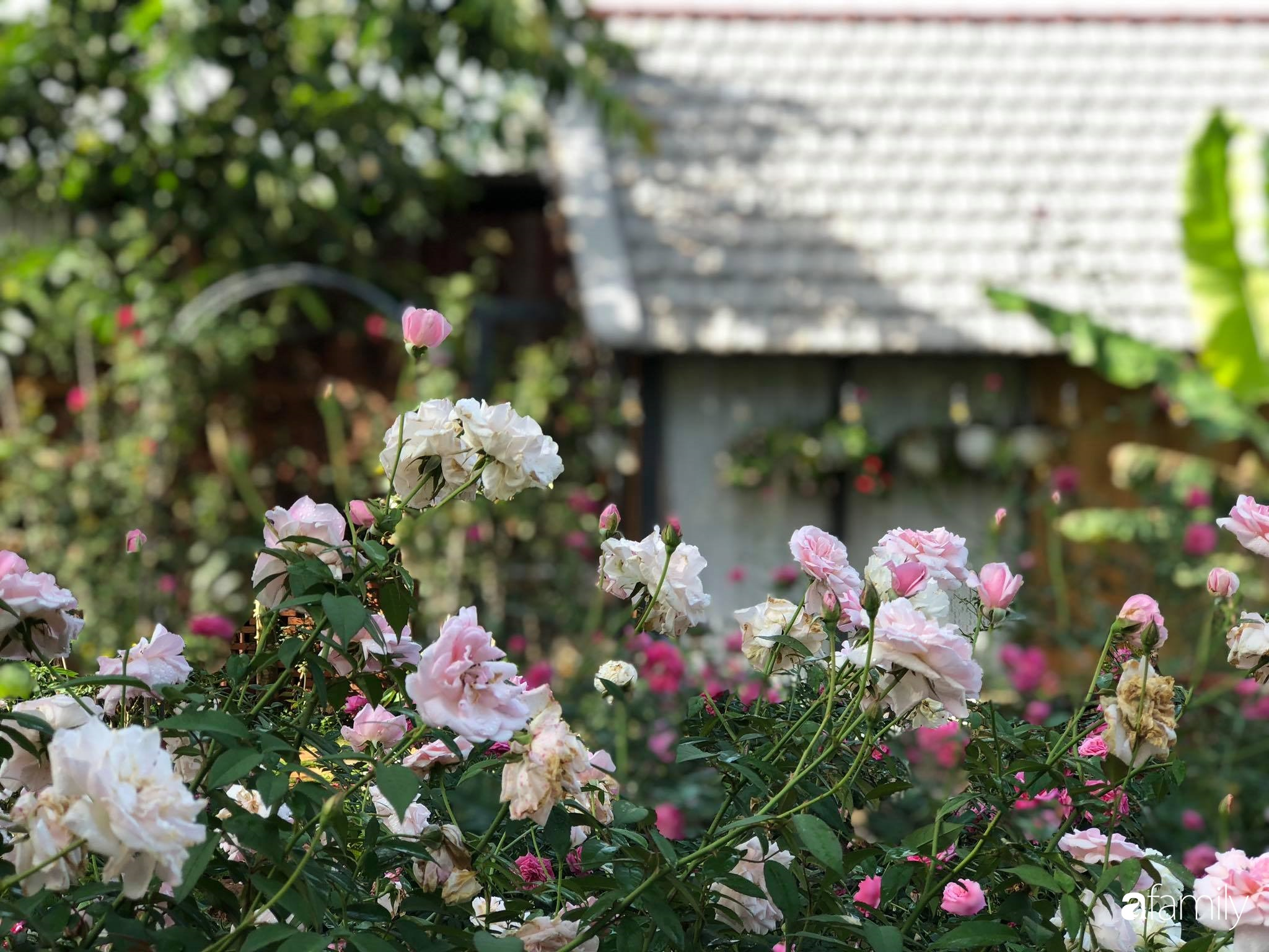 Khu vườn hoa hồng đẹp như cổ tích mà người chồng ngày đêm chăm sóc để tặng vợ con ở Vũng Tàu-25