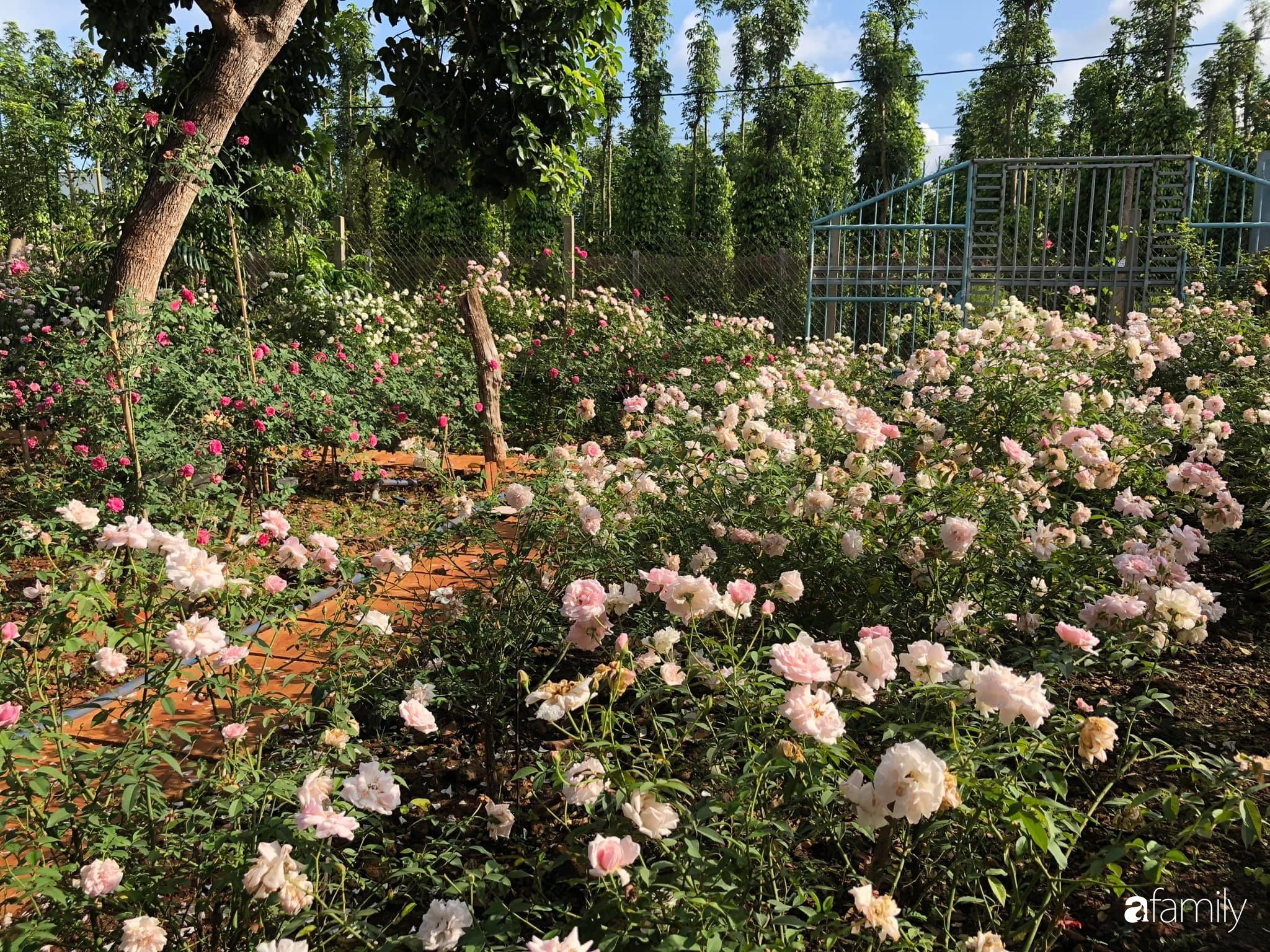 Khu vườn hoa hồng đẹp như cổ tích mà người chồng ngày đêm chăm sóc để tặng vợ con ở Vũng Tàu-5