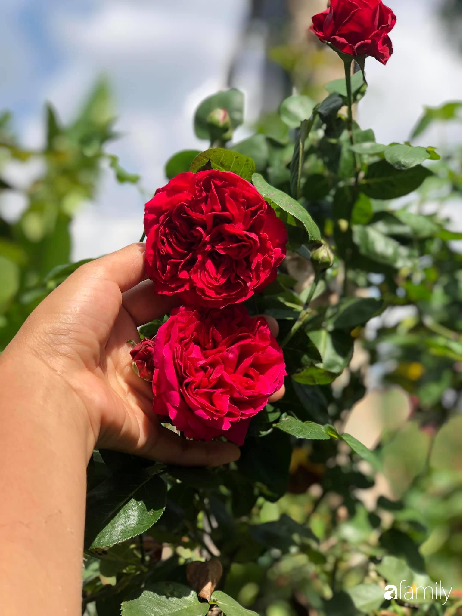 Khu vườn hoa hồng đẹp như cổ tích mà người chồng ngày đêm chăm sóc để tặng vợ con ở Vũng Tàu-17