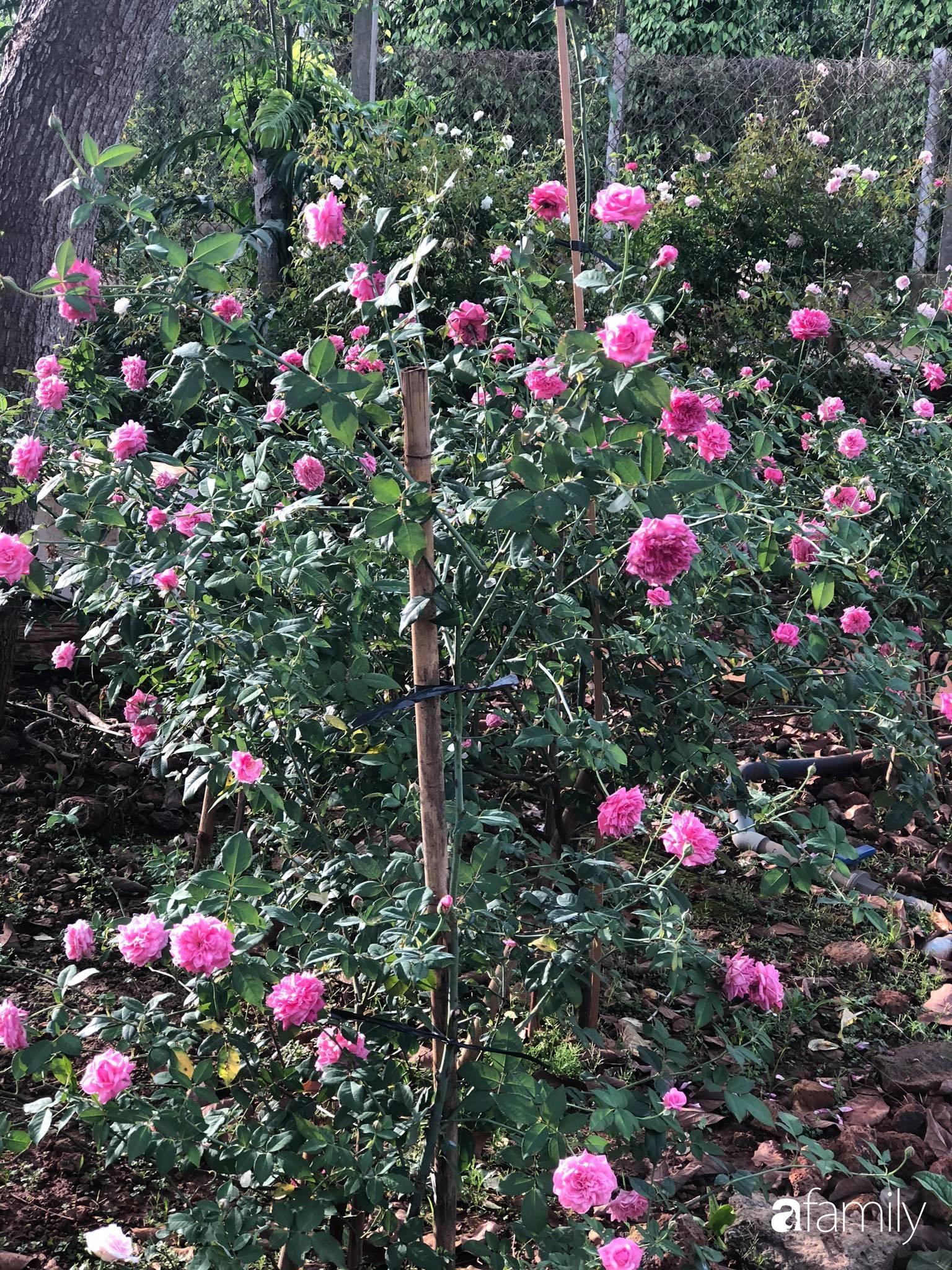 Khu vườn hoa hồng đẹp như cổ tích mà người chồng ngày đêm chăm sóc để tặng vợ con ở Vũng Tàu-7