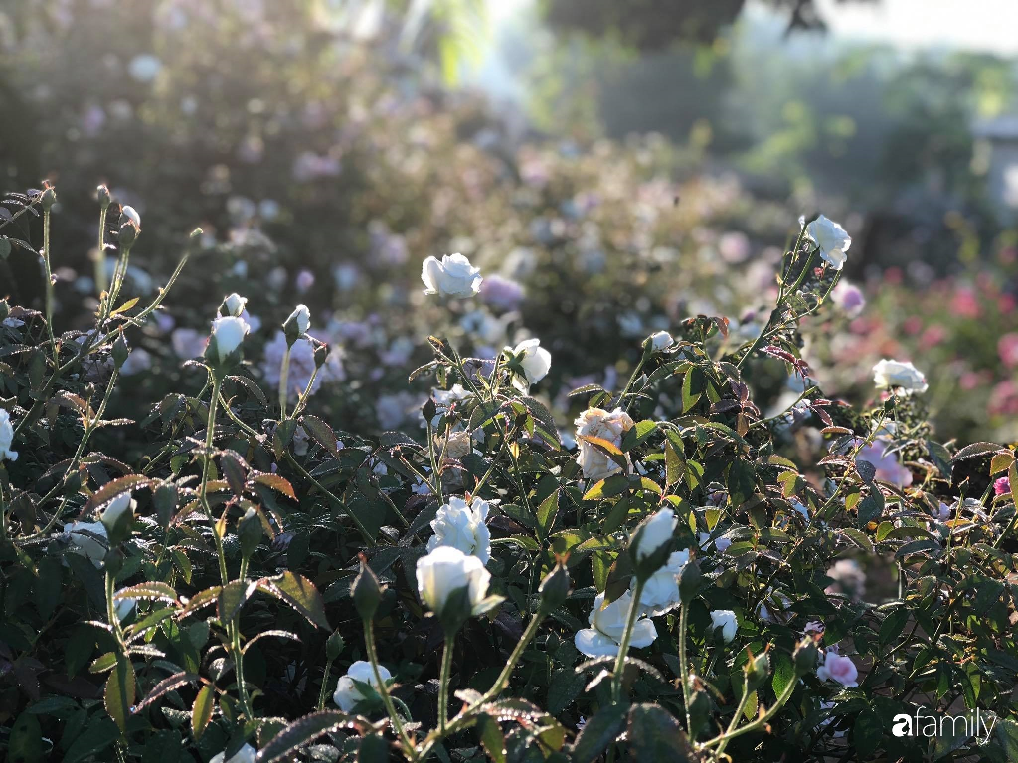 Khu vườn hoa hồng đẹp như cổ tích mà người chồng ngày đêm chăm sóc để tặng vợ con ở Vũng Tàu-35