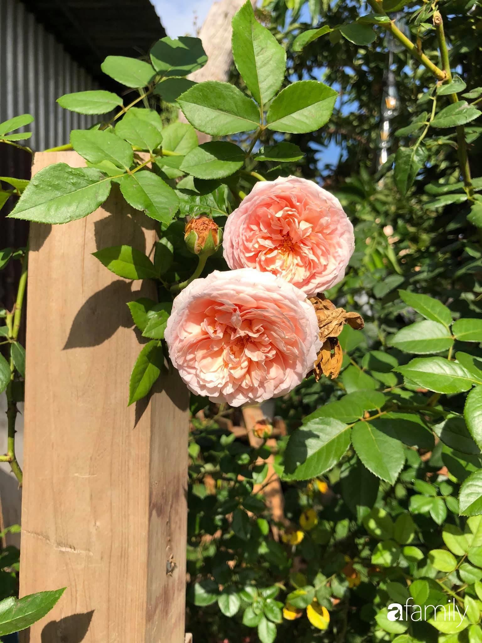 Khu vườn hoa hồng đẹp như cổ tích mà người chồng ngày đêm chăm sóc để tặng vợ con ở Vũng Tàu-33