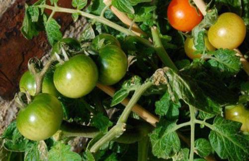 Lạ đời cách trồng cà chua thái miếng chỉ mất vài phút, sau được cả vườn cà chua sai trĩu-1