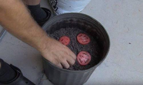 Lạ đời cách trồng cà chua thái miếng chỉ mất vài phút, sau được cả vườn cà chua sai trĩu-3