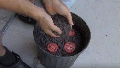 Lạ đời cách trồng cà chua thái miếng chỉ mất vài phút, sau được cả vườn cà chua sai trĩu-4