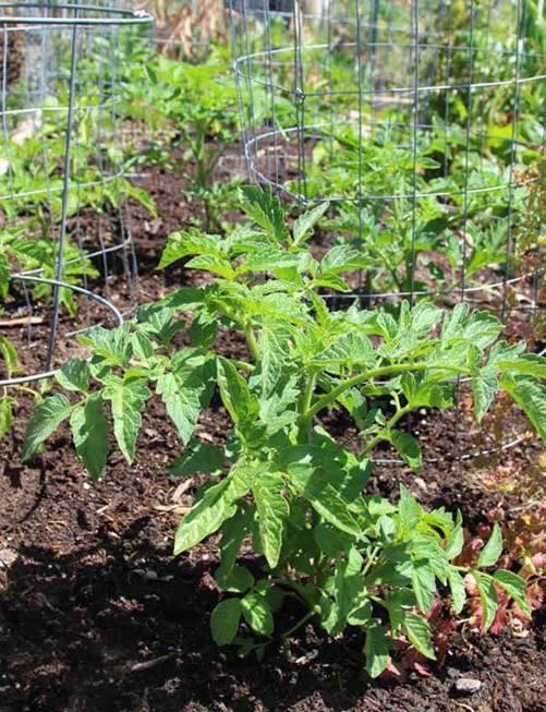 Lạ đời cách trồng cà chua thái miếng chỉ mất vài phút, sau được cả vườn cà chua sai trĩu-8