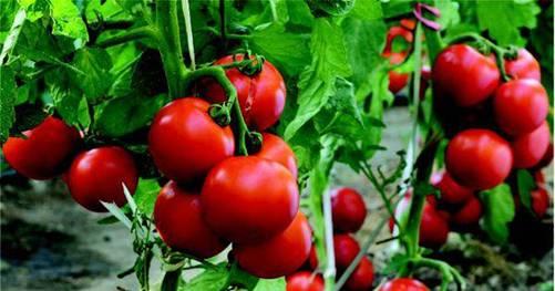 Lạ đời cách trồng cà chua thái miếng chỉ mất vài phút, sau được cả vườn cà chua sai trĩu-9
