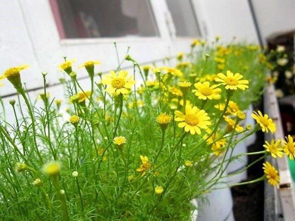 Những loại hoa thơm như nước hoa, rực rỡ xuất sắc nên trồng ở ban công-4