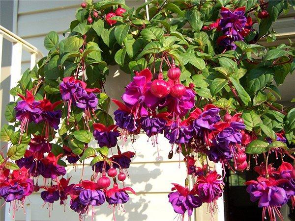 Những loại hoa thơm như nước hoa, rực rỡ xuất sắc nên trồng ở ban công-6